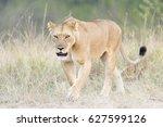 Lioness  Panthera Leo   Walkin...