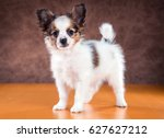 Cute Puppy Of The Papillon Or...