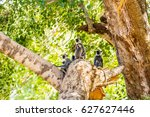 a family of tufted gray langurs ... | Shutterstock . vector #627627446