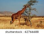 giraffe | Shutterstock . vector #62766688