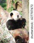 Wild Giant Panda Bear Leaning...