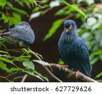 Small photo of Madagascan blue pigeon in Walsrode Bird Park, Germany. Alectroenas madagascariensis