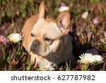 French Bulldog In Sea Fig...
