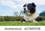 Border collie dog at rural farm ...