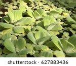 Small photo of Pistia Alismatales Araceae, Water Lettuce , Pistia stratiotes Linnaeus