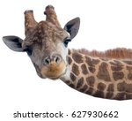 Giraffe Head Face Isolated On...