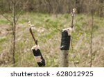 Grafting Branches Of Fruit Tre...