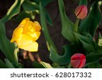 beautiful yellow and red tulips ... | Shutterstock . vector #628017332