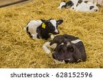 Holstein Calves Laying In Straw.