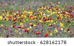wild tulips of red and yellow... | Shutterstock . vector #628162178