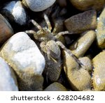 Small photo of Arctosa littoralis