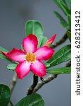 Small photo of Pink Adenium or Japanese Frangipani