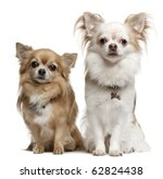 chihuahuas  7 years old  6... | Shutterstock . vector #62824438