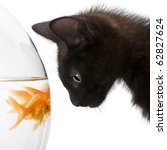 Stock photo close up of black kitten looking at goldfish carassius auratus swimming in fish bowl in front of 62827624