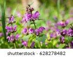 flowering lamium maculatum also ... | Shutterstock . vector #628278482