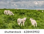 Young Sheep Lams At The Dutch...