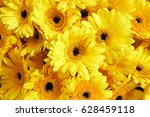 Background Of Yellow  Gerberas  ...