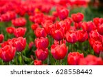 beautiful red tulips in a park... | Shutterstock . vector #628558442