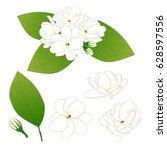 jasminum sambac   arabian... | Shutterstock .eps vector #628597556