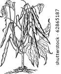 bean  phaseolus  | Shutterstock .eps vector #62865187