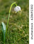 Small photo of Spring Snow Flake (Leucojum vernum), Amaryllis family (Amaryllidaceae), Switzerland