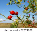 Red Rose Hips On Bush