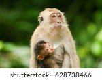 The Crab Eating Macaque  Long...