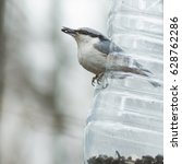 Eurasian Or Wood Nuthatch ...
