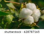 mature cotton | Shutterstock . vector #628787165