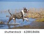 a blue staffordshire terrier...   Shutterstock . vector #628818686