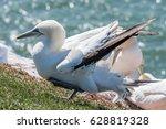 norther gannet and eurasian...   Shutterstock . vector #628819328