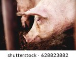 pig at pig farm. pig portrait.