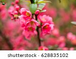 cherry blossom in spring for... | Shutterstock . vector #628835102