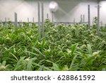young marijuana hemp plants... | Shutterstock . vector #628861592