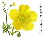 buttercup   ranunculus. hand... | Shutterstock .eps vector #628861628