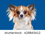 Long Haired Chihuahua Dog...