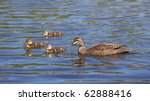 a pacific black duck  anas... | Shutterstock . vector #62888416