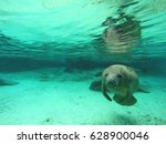 A Manatee In Crystal River ...