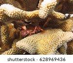 A Small Crab Hides Among Hard...