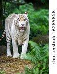 white tiger | Shutterstock . vector #6289858
