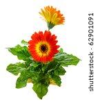 Orange Gerbera Hybrid Daisy. ...