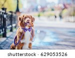 Stock photo nova scotia duck tolling retriever dog holding the leash in his mouth 629053526