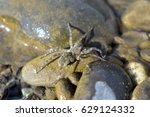 Small photo of Arctosa littoralis IV