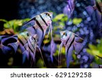 angelfish in aquarium tank. | Shutterstock . vector #629129258