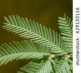 Small photo of Silver wattle leaf (Acacia dealbata)
