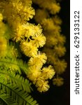 Small photo of Silver wattle flowers (Acacia dealbata)