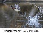 wood duck drake take off | Shutterstock . vector #629141936