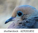 Mourning Dove Close Up