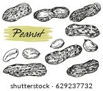engraved hand drawn peanut... | Shutterstock .eps vector #629237732
