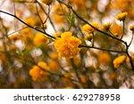 kerria japonica or pleniflora... | Shutterstock . vector #629278958